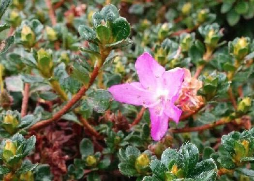 ピンクで可愛らしいお花です