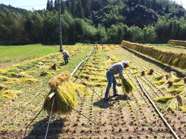 稲刈りの達人たち