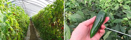 ハウス栽培の野菜収穫体験