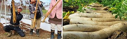 自然薯の収穫体験